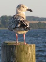 Möve, Wasservogel